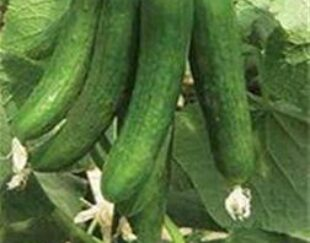 فروش بذر خیار هیبرید کاریز تاکی ژاپن – تهران