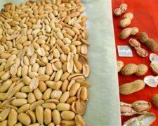 فروش بادام زمینی کره گیری