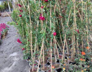 باغبانی گلکاری وسمپاشی درختان گل های فصلی باغچه همراه خاک